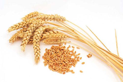 hạt lúa mì